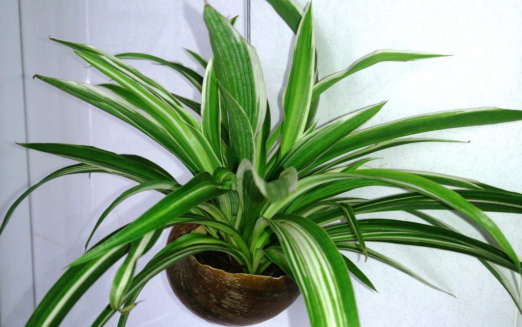 Turn Your Home Into An Urban Jungle - Spider Plant