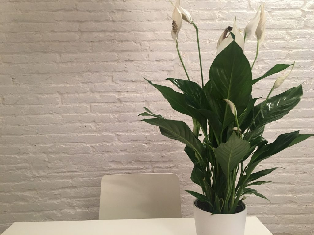 Turn Your Home Into An Urban Jungle - Peace Lilies