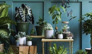 House plant display with blue painted wall.
