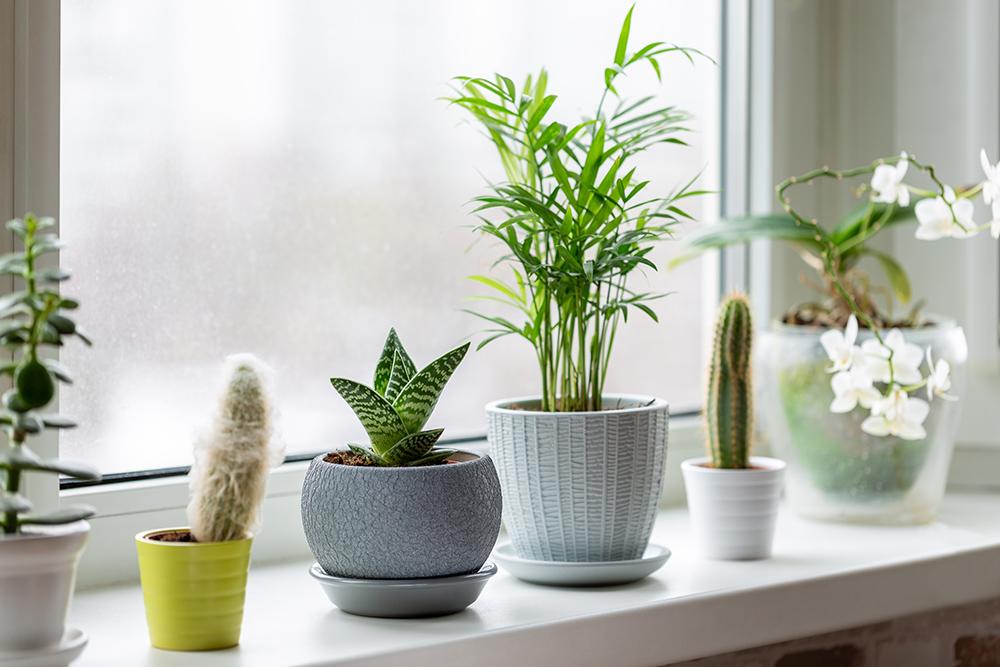 Plants in pots on window sill.