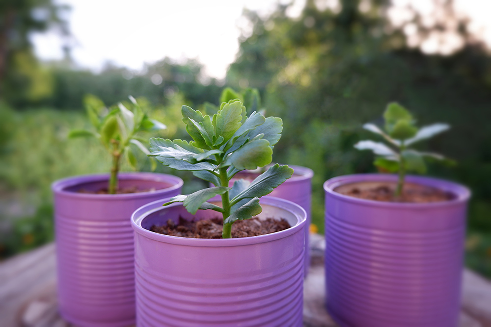 Old tin cans painted purple and used as plant pots